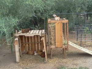 Chickens playing