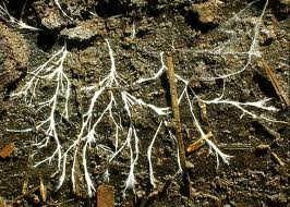 Fungal hyphae growing through forest soil