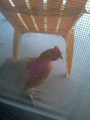 My rooster Wolfie, peeking into the house.